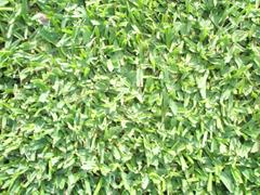 Shademaster Soft Leaf Buffalo Turf