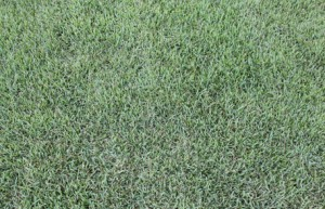 Nara Zoysia MACRANTHA CLOSE UP