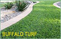 Buffalo Turf