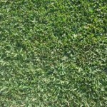 Matilda Premium Lawn (Stenotaphrum Secundatum)