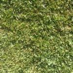 Shademaster Soft Leaf Buffalo